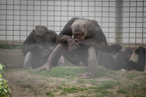 Schimpanse im Schwaben Park in verzweifelter Haltung. Bildquelle: Animal Equality.