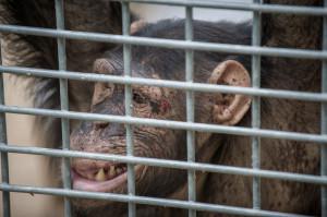 Verletzter Schimpanse im Schwaben Park. Bildquelle: Animal Equality.