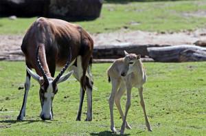 Der neu geborene Blessbock tobt über das Erweiterungsgelände im Zoo Berlin
