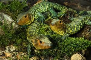 Junge Krokodiltejus im Tiergarten Schönbrunn