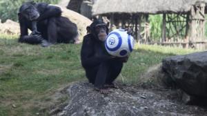 Ein Schimpanse der Zoom Erlebniswelt profitiert bereits von der Partnerschaft mit dem FC Schalke 04.