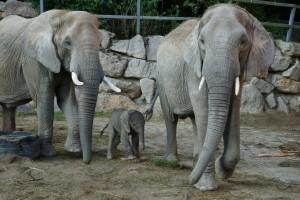 Elefantenfamilie im Tiergarten Schönbrunn