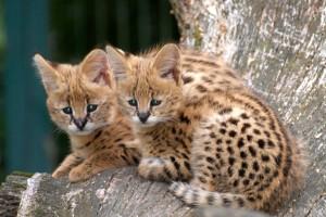 Serval Babies im Tier- und Freizeitpark Thüle