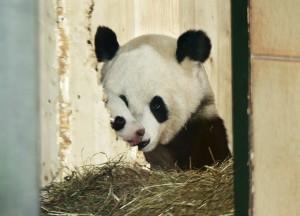 Baby Panda im Tiergarten Schönbrunn