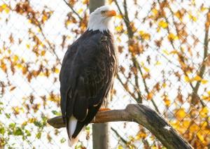 Majestätische Adler und viele weitere Greifvögel erwarten euch 2014 wieder im EIfelpark Gondorf.