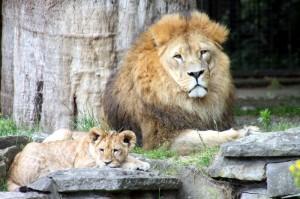Löwe Lukas im Zoo Dortmund