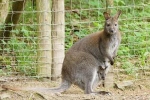 Wallaby-Känguru Baby im Eifelpark