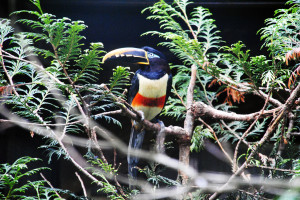 Braunohrarassari im Weltvogelpark Walsrode