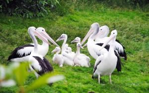 Brillenpelikane im Weltvogelpark Walsrode