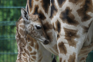 Giraffenbaby in der Zoom Erlebniswelt