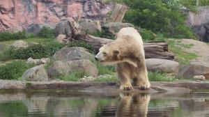 Eisbär Fanny Zoom Erlebniswelt