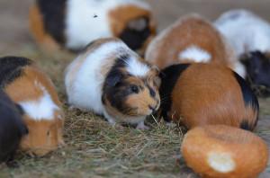 Meerschweinchen im Freizeitpark Thüle