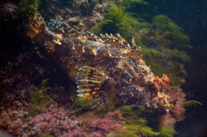 Drachenkpopf Fisch im Sea Life Oberhausen