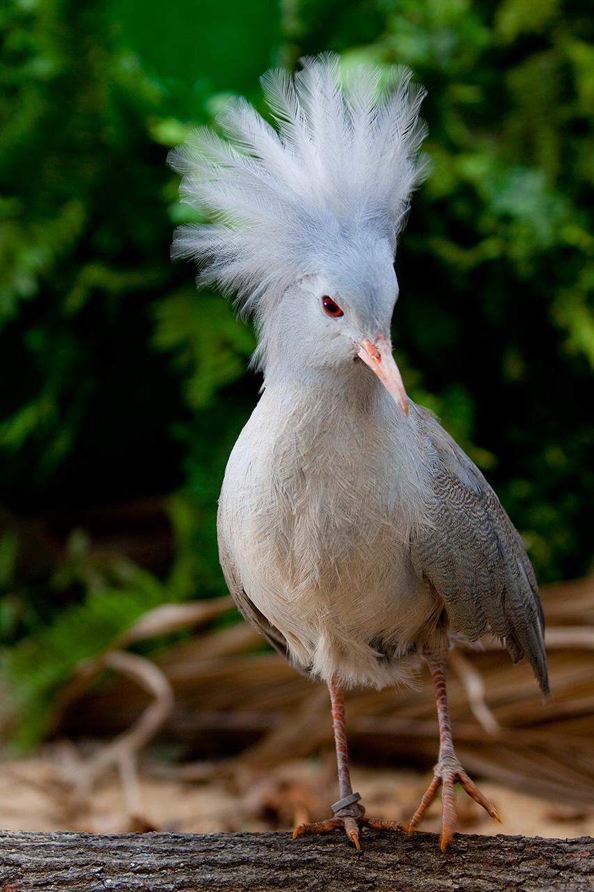 Weltvogelpark Walsrode – Kagu-Küken sind besonderer Nachwuchs-Erfolg   Parkerlebnis.de