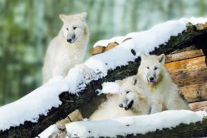 Polarwölfe im Wildparadies Tripsdrill