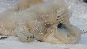 Eisbär in der Zoom Erlebniswelt