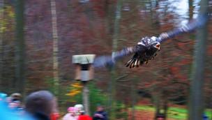 Greifvogel-Flugschau in Tripsdrill ist Programmhighlight im Wildparadies: über 220.000 Zuschauer