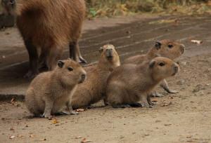 Wasserschweine Capybaras im Erlebnis-Zoo Hannover