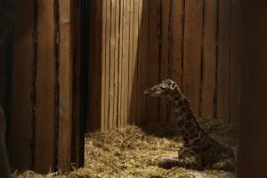 Giraffenbaby 2015 in der Zoom Erlebniswelt