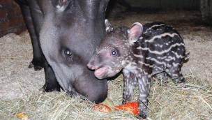 Jaderpark freut sich über Nachwuchs bei Tapiren