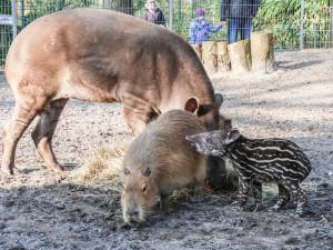 Tapir-Baby im Jaderpark