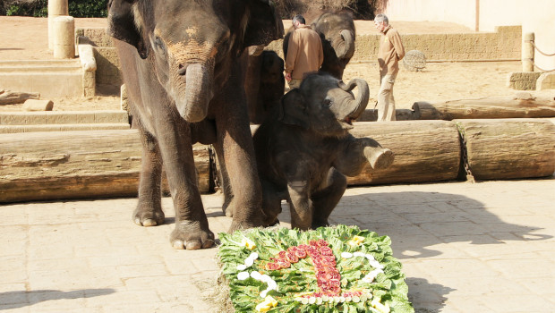 Elefant Yumi - Geburtstag im Erlebnis-Zoo Hannover