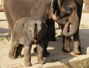 Erlebnis-Zoo Hannover - Elefanten Yumi und Califia