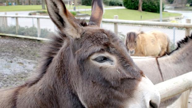 Esel Casperle im Zoo Karlsruhe