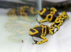 Gelbgebändeter Pfeilgiftfrosch im Zoo Karlsruhe