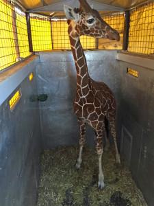 Giraffe in Italien