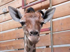 Giraffenbaby im Jaderpark
