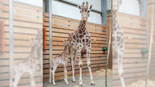 Jara - Giraffenkalb im Jaderpark