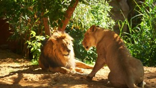 Löwen der Zoom Erlebniswelt