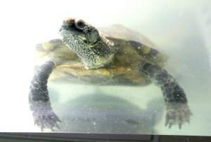 Plattschildkröte im Zoo Karlsruhe