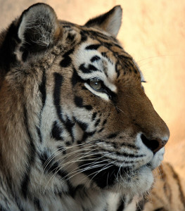 Tiger Kolja im Erlebnis-Zoo Hannover