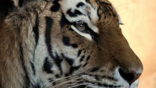 Erlebnis-Zoo Hannover trauert um den Sibirischen Tiger Kolja