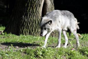Timberwolf. (Foto: Zoom Erlebniswelt)