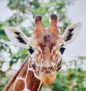 Zoo Karlsruhe Giraffe