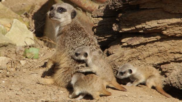Erdmännchen-Babys im Zoo Hannover
