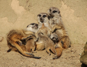 Erdmännchen-Familie Zoo Hannover