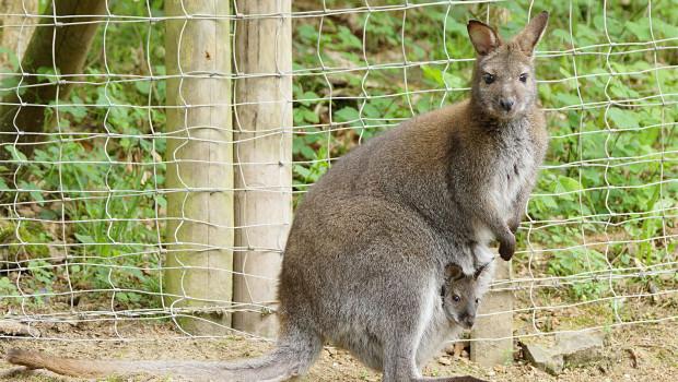 Känguru-Baby im Eifelpark Gondorf