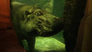 Unterwasser-Star im Erlebnis-Zoo Hannover: Flusspferd-Bulle Max lebt sich ein