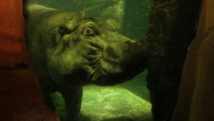 Max - Flusspferd im Erlebnis-Zoo Hannover