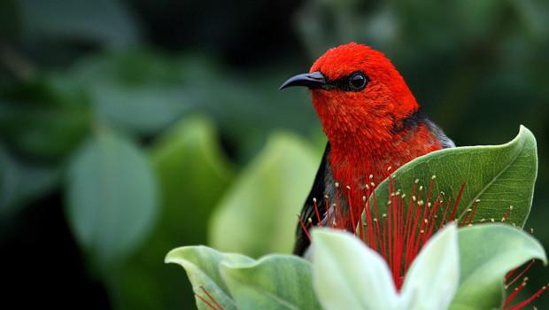 Vogel Scarlet Honigfresser