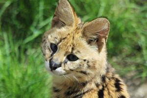 Serval in Zoom Erlebniswelt