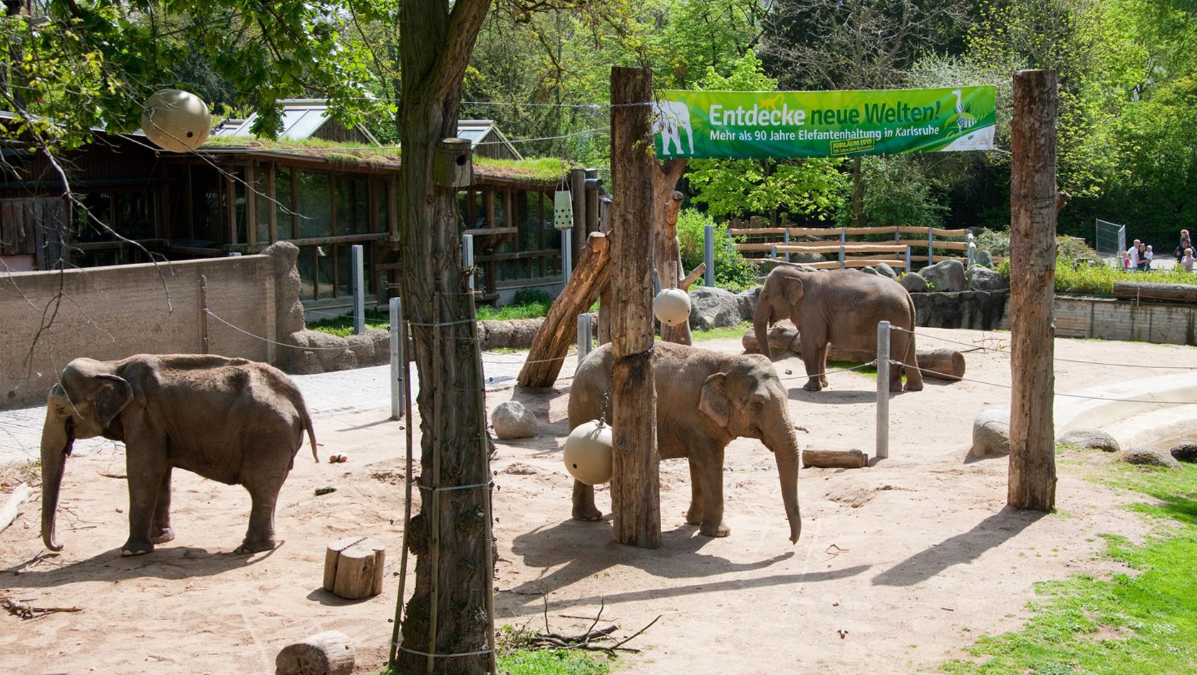 zoo karlsruhe feiert 60 elefanten geburtstag von rani. Black Bedroom Furniture Sets. Home Design Ideas