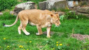 Löwenmutter im Zoo Dortmund von eigenem Sohn getötet