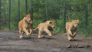Serengeti Park – drei Löwenkinder jetzt für Besucher in Freianlage zu sehen