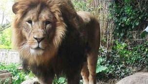 Löwe Bantu bezieht sein Revier in der ZOOM Erlebniswelt