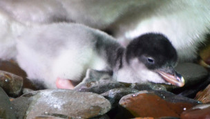 Zweites Pinguinbaby im SEA LIFE Konstanz geschlüpft
